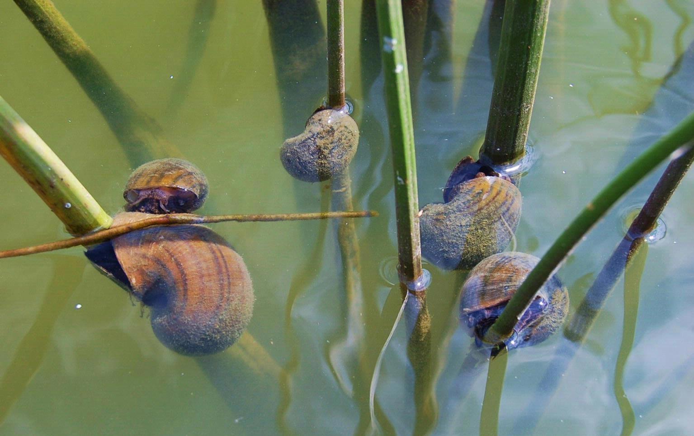 How to control aquarium snails aquarium tidings for How to get rid of snails in fish tank