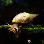 Pond Snail