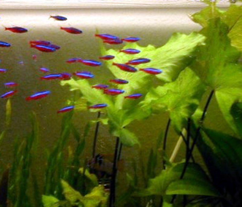 Cardinal tetra the care feeding and breeding of for Neon fish tank