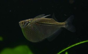Gasteropelecus levis