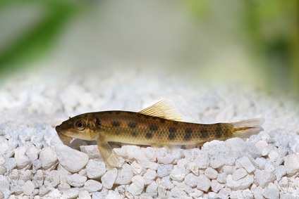 Chinese algae eater the care feeding and breeding of for Algae eating fish for ponds