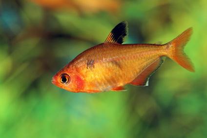 how to breed tetra fish