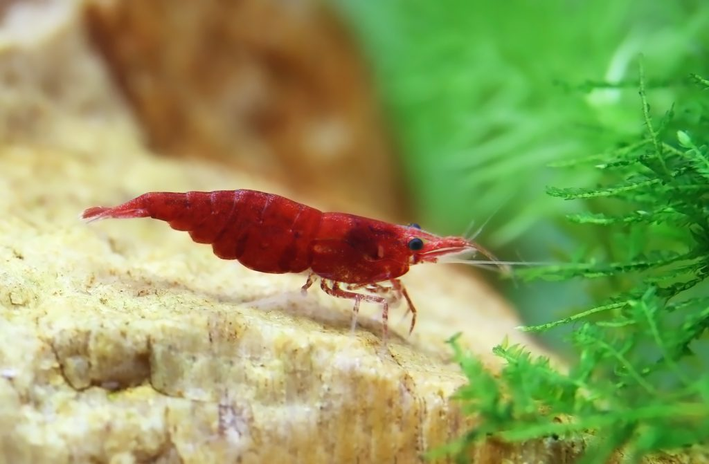 Red Cherry Shrimp - The Care, Feeding, and Breeding of Red ...