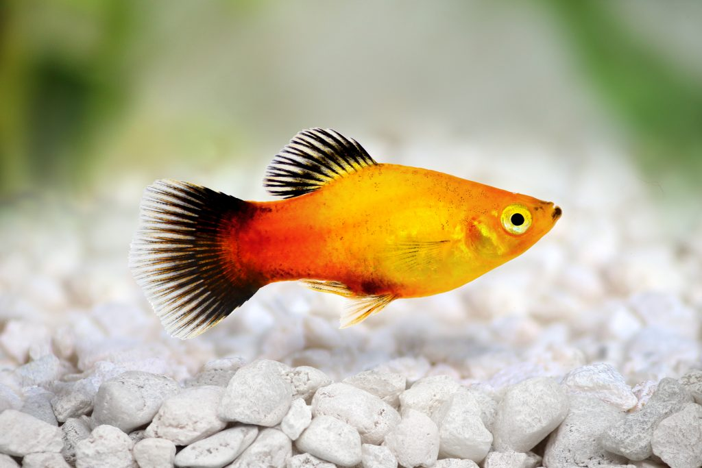 Platy fish the care feeding and breeding of platys for Molly fish food